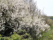 Живые изгороди.Саженцы сосны, берёзы, дуба, клена, липы, ясеня,  граба