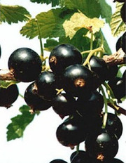 чёрная смородина сорт титания.рубен