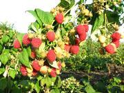 Высокоурожайная Малина сорта «Енисей».