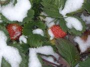 Рассада - саженцы и семена ремонтантных  и одноразовых сортов клубники