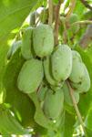 актинидия,  виноград
