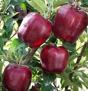 Продам саженцы яблонь Ред-Чиф,  на подвое м9.