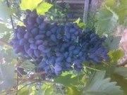 Продам черенки новых ранних сортов винограда,  малины, клубники, крыжовни