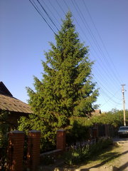 Продам большую живую елку (высота - около 7м).