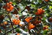 Боярышник Аурея с оранжевыми ягодами
