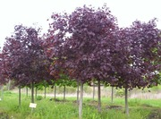 Предлагаю саженцы декоративных деревьев и кустарников
