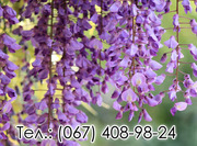 Акция на саженцы Глицинии Вистерии и Тюльпанового дерева