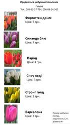 Луковицы тюльпанов,  цибулини тюльпанів