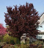 Продам 2-х летние саженцы Алычи и много других растений.
