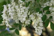 Продам саженцы Акации и много других растений (опт от 1000 грн)
