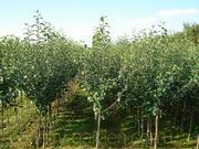 Продам саженцы Грушы и много других растений (опт от 1000 грн)