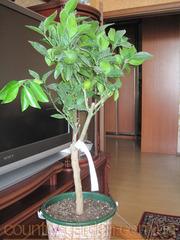 Продам саженцы Апельсина с плодами (комнатное растение).