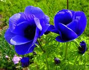 Продам саженцы Ветреницы и много других растений (опт от 1000 грн)