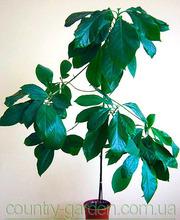 Продам авакадо (комнатное растение) и много других растений.