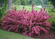 Продам саженцы Вейгелы и много других растений (опт от 1000 грн)