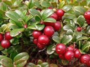 Продам саженцы Брусники и много других растений (опт от 1000 грн)