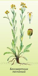 Продам саженцы Бессмертник и много других растений (опт от 1000 грн)