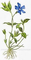 Продам саженцы Барвинка и много других растений (опт от 1000 грн)