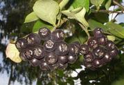 Продам саженцы Черноплодной Рябины (Аронии) и много других растений