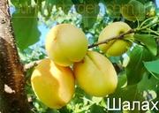 Продам 2-х летние саженцы Абрикоса и много других растений.