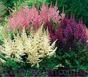 Продам саженцы Астильбы и много других растений (опт от 1000 гр)