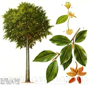 Продам саженцы Бука и много других растений (опт от 1000 грн)