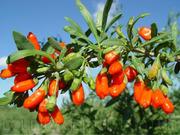 Продам саженцы Годжи и много других растений (опт от 1000 грн)