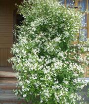 Продам саженцы Дикий Климатис и много других растений.