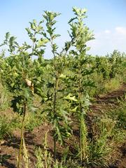 Продам саженцы Дуба и много других растений (опт от 1000 грн).