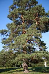 Продам саженцы Кедра и много других растений (опт от 1000 грн).