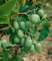 Продам саженцы Киви-мини - Актинидия и много других растений.