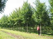 Продам саженцы Клена и много других растений (опт от 1000 грн).