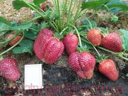 Продам рассаду Клубники и много других растений (опт от 1000 грн).