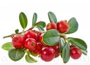 Продам саженцы Клюквы - Вашингтон и много других растений.