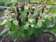 Продам саженцы Лаконос и много других растений (опт от 1000 грн).