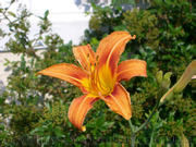 Продам корни Лилейника Оранжевого и много других растений.