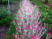 Продам саженцы Лихнис и много других растений (опт от 1000 грн).