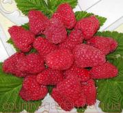 Продам саженцы самой вкусной садовой ягоды Малины.