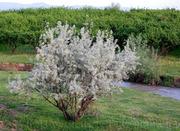 Продам Маслину Дикую в горшках и много других растений.