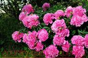 Продам саженцы Пиона и много других растений (опт от 1000 грн).
