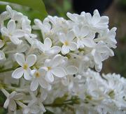 Продам саженцы Сирени и много других растений (опт от 1000 грн).