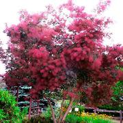 Продам саженцы Скумпия кожевенной и много других растений.