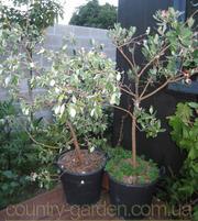 Продам растения Фейхоа (комнатное растение) и много других растений.
