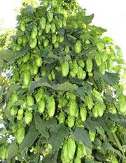 Продам Хмель и много других растений (опт от 1000 грн).