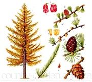 Продам саженцы Листвиницы и много других растений (опт от 1000 грн).