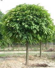 Продам саженцы Шелковицы и много других растений (опт от 1000 грн).