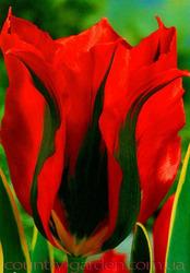 Продам луковицы Тюльпанов Виридифлора и много других растений.