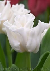Продам луковицы Тюльпанов Волнистых и много других растений.