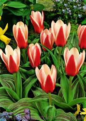 Продам луковицы Тюльпанов Кауфмана и много других растений.