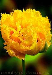 Продам луковицы Тюльпанов Махровых + Бахромчатый.